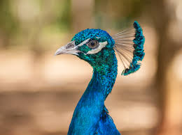 ... Beautiful and Colorful Pictures Of Peacock HD Images Free Download