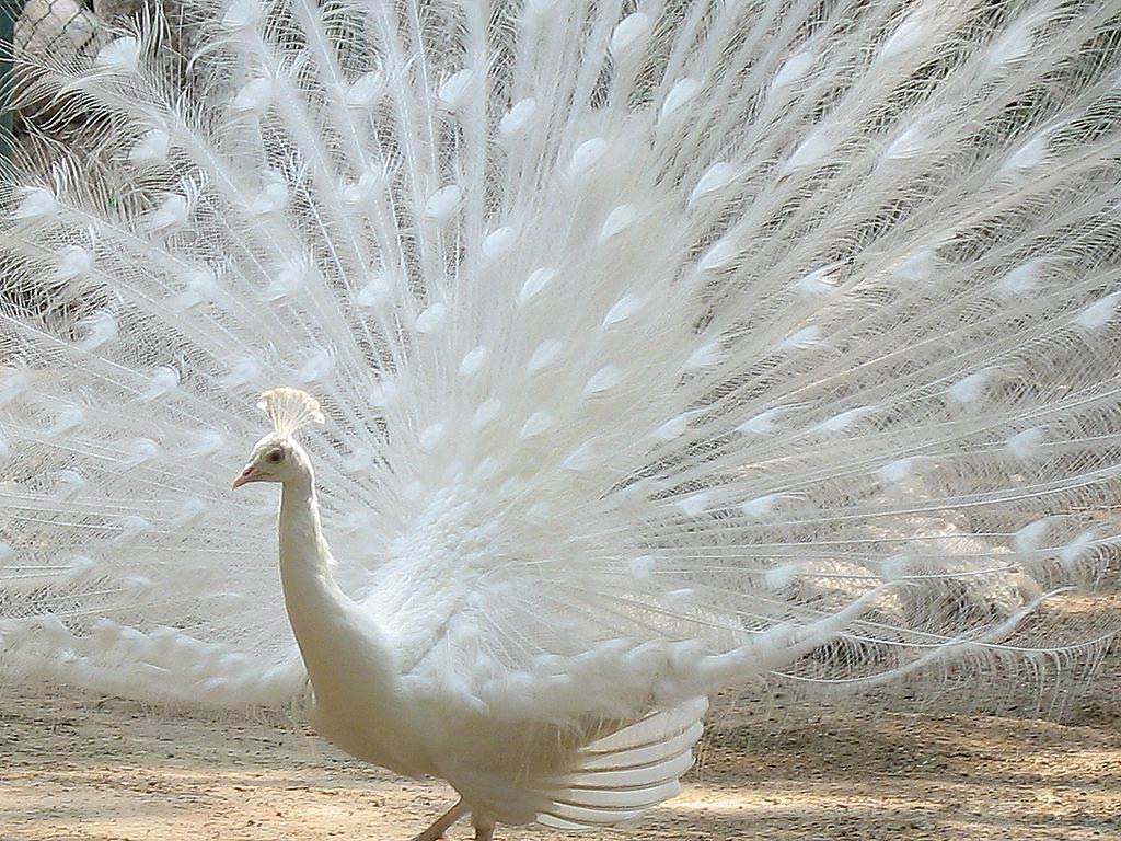 amazing white peacock dancing wallpapers for facebook
