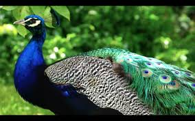 beautiful peacock photos collection