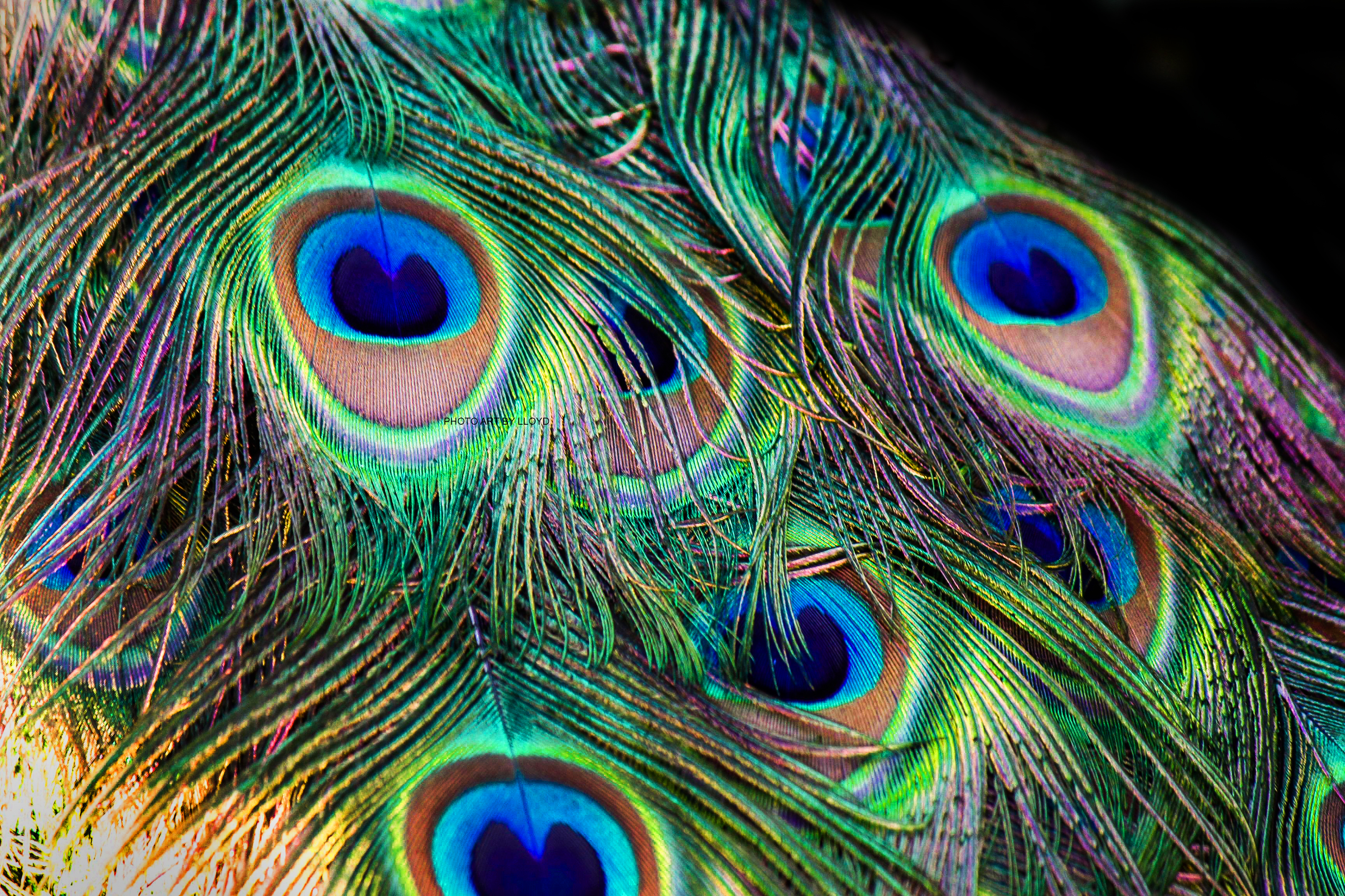 beautiful peacock feathers images