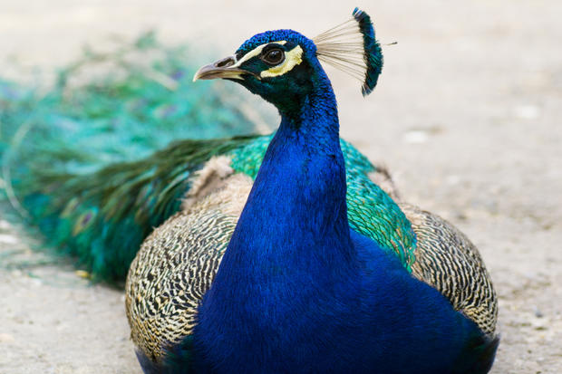 beautiful peacock neck images