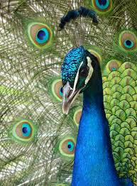 peacock wallpapers free download hd collection
