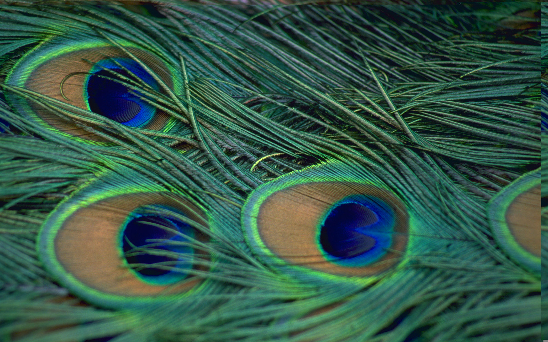 peacock wallpapers for desktop background