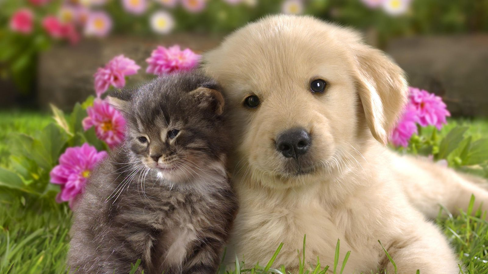 cat and dog together wallpapers free