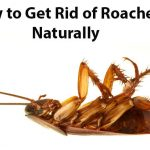 How To Get Rid Of Cockroaches By Home Remedies