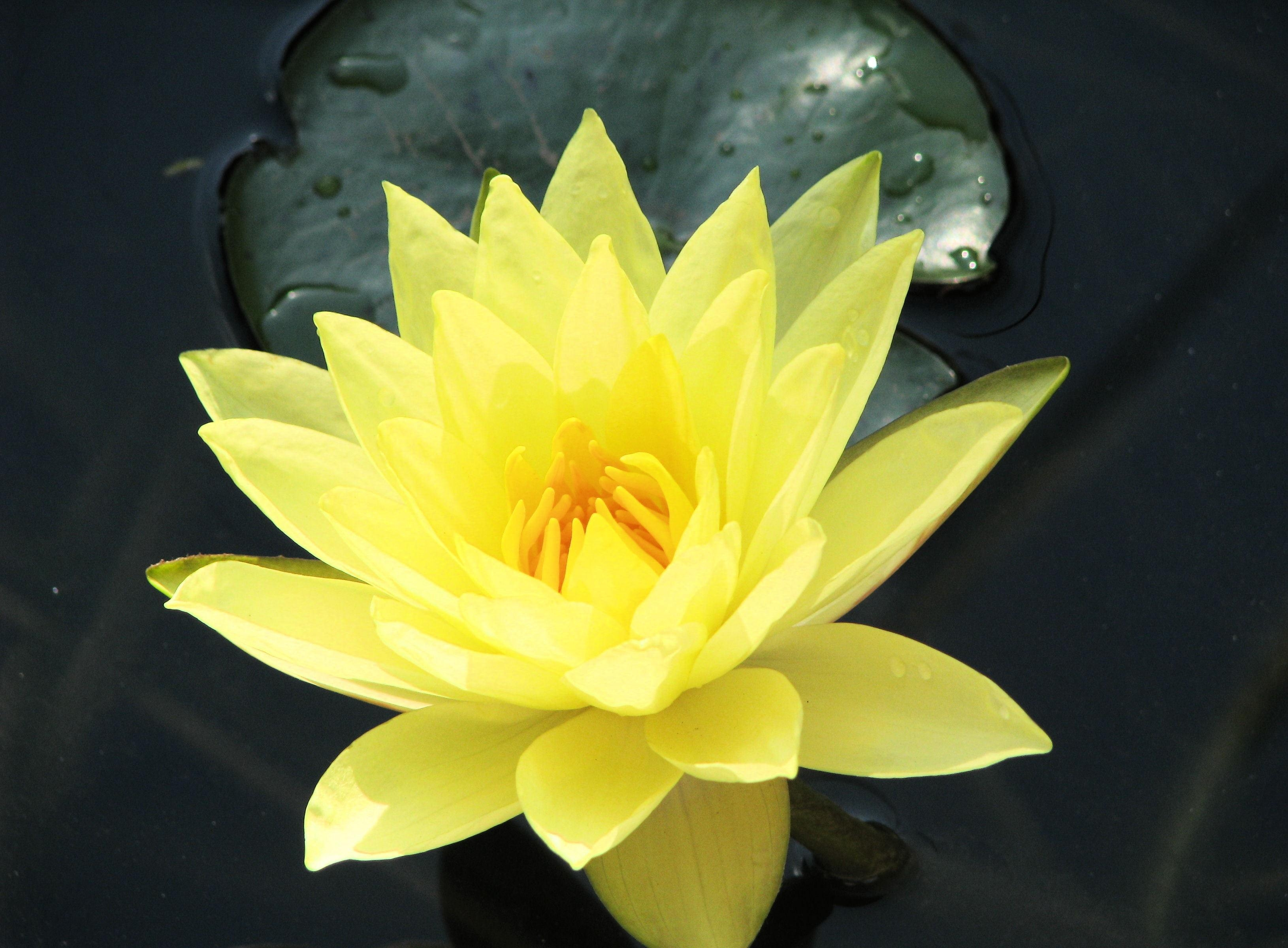 yellow water lily flower - photo #1
