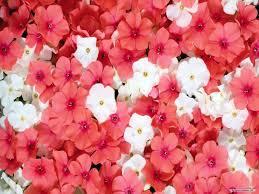flowers wallpapers hd free
