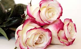 rose images gallery