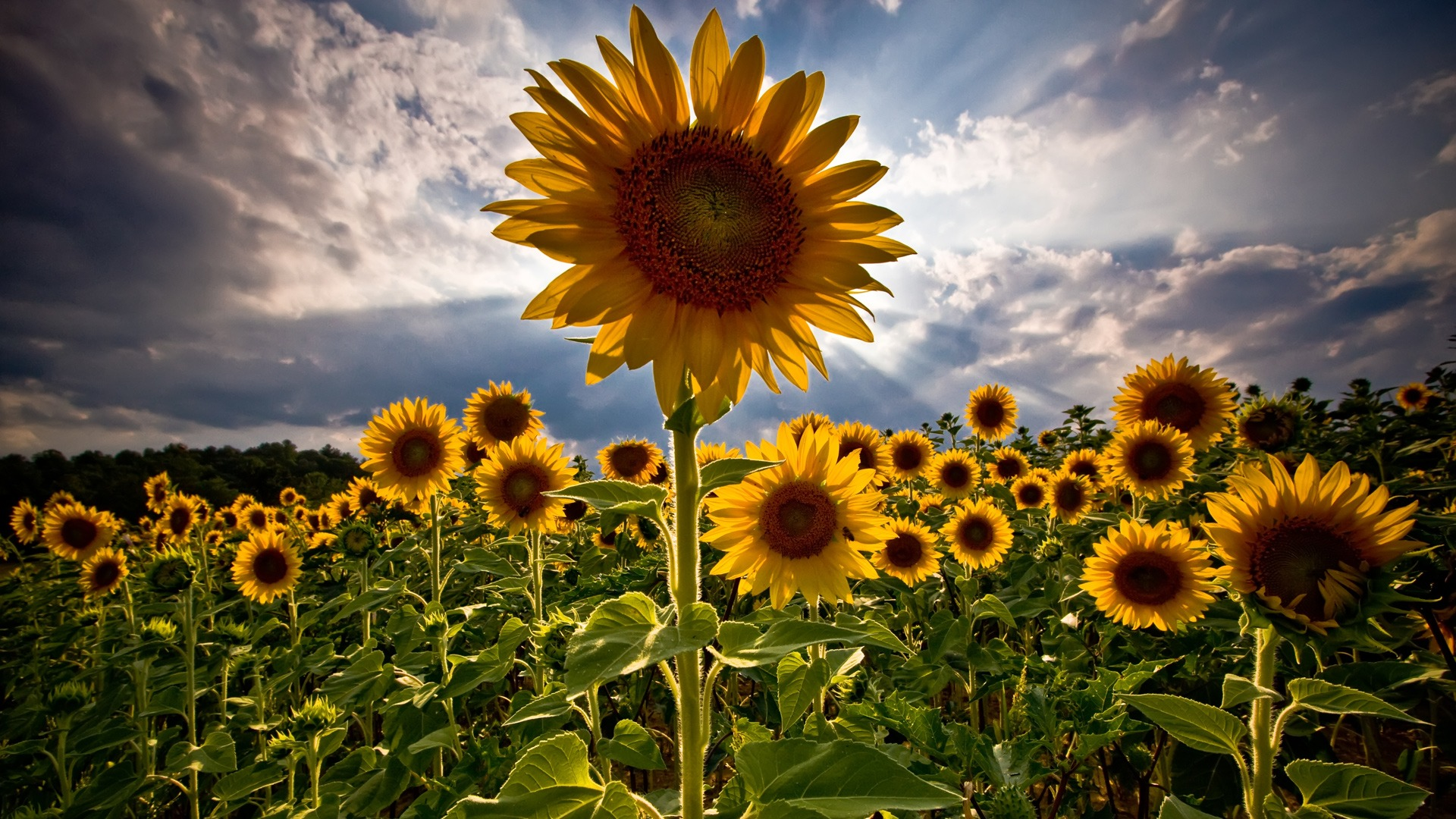 sunflower images to draw