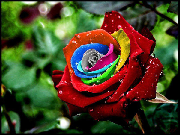 colorful rose beautiful images