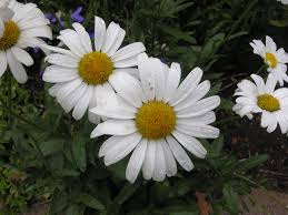 white summer flowers images for windows