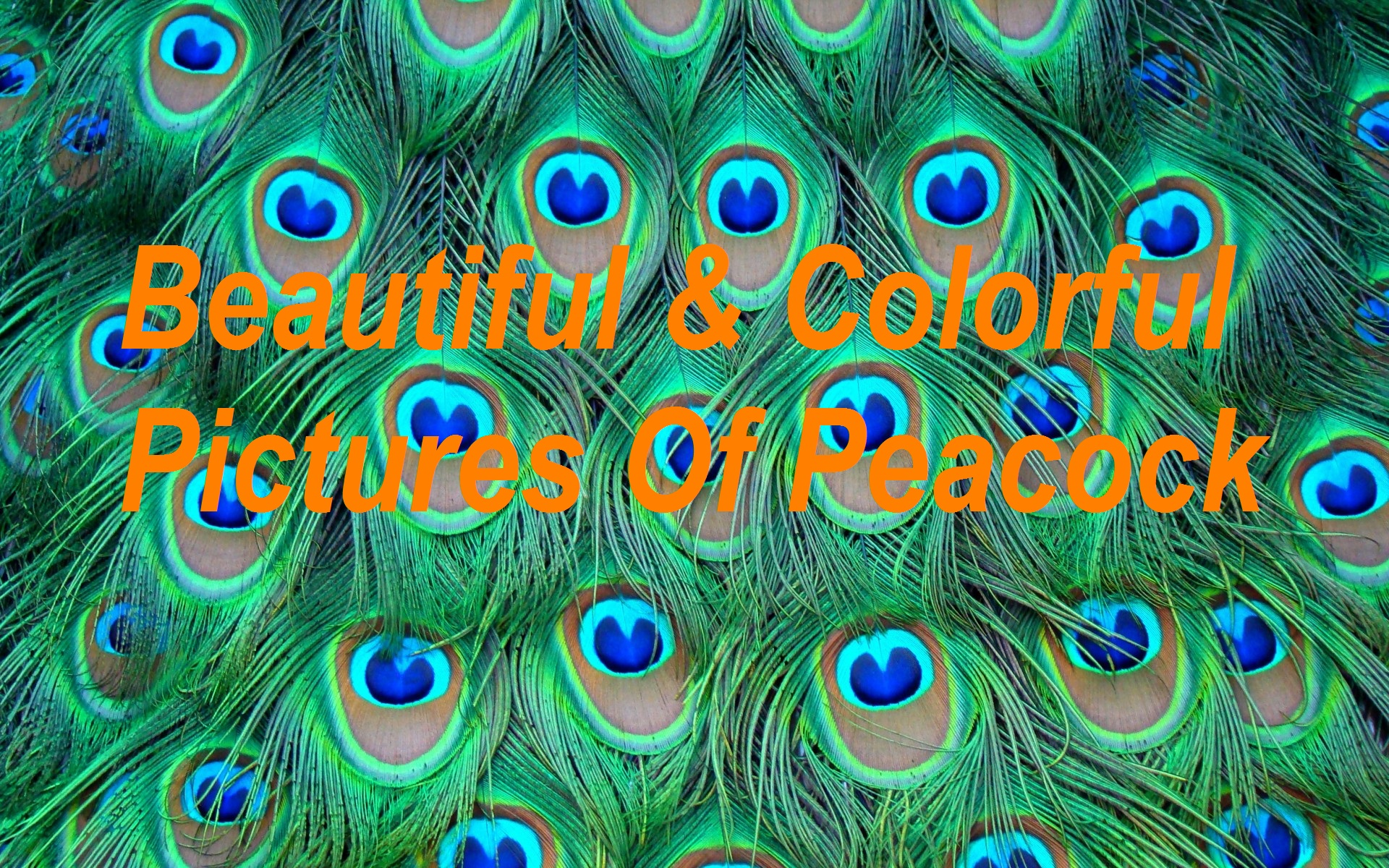Top 100 Most Beautiful And Colorful Pictures Of Peacock