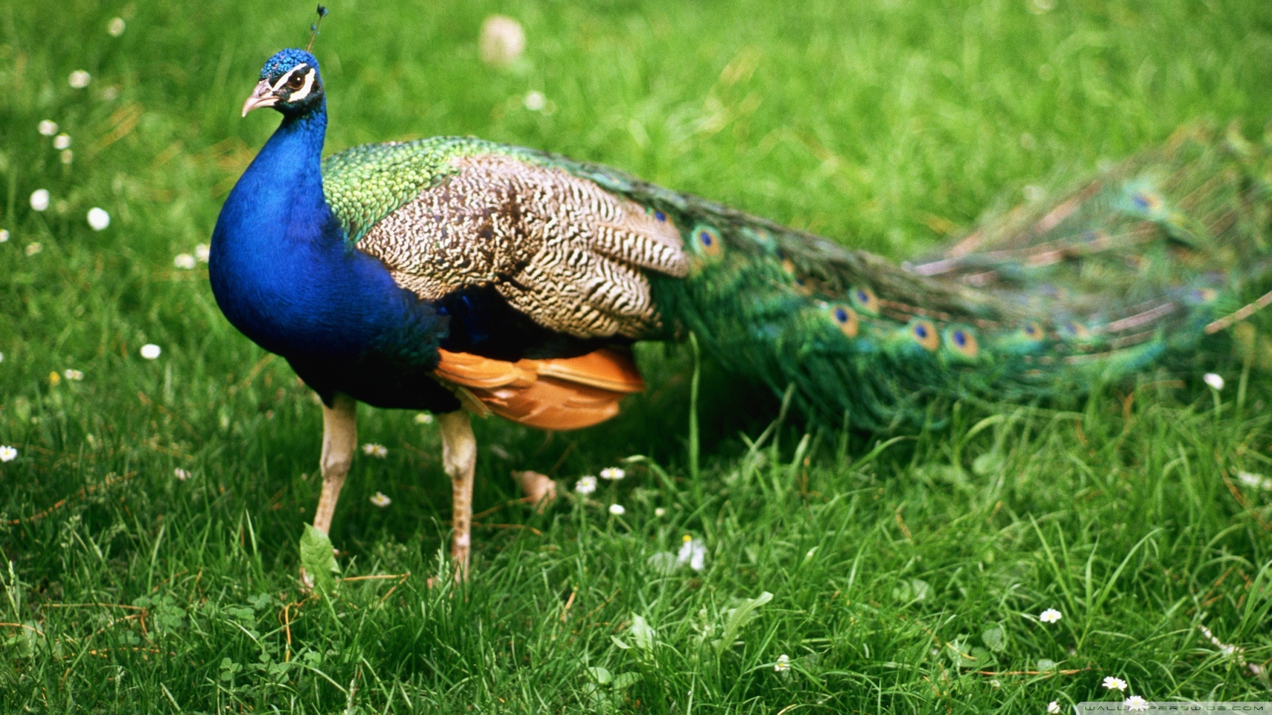 peacock wallpapers free download for background