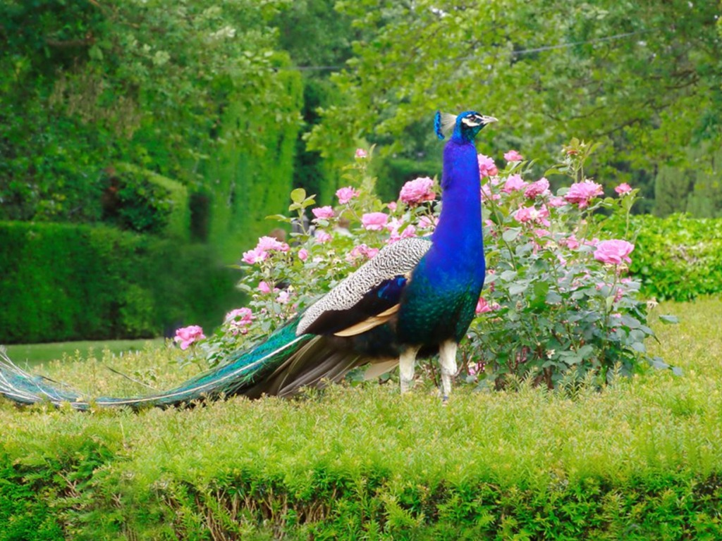 peacock hd wallpapers latest collection