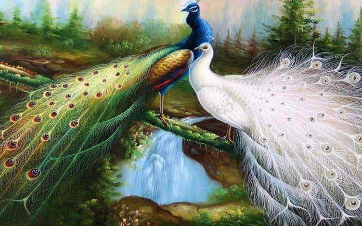 beautiful peacock wallpapers hd free