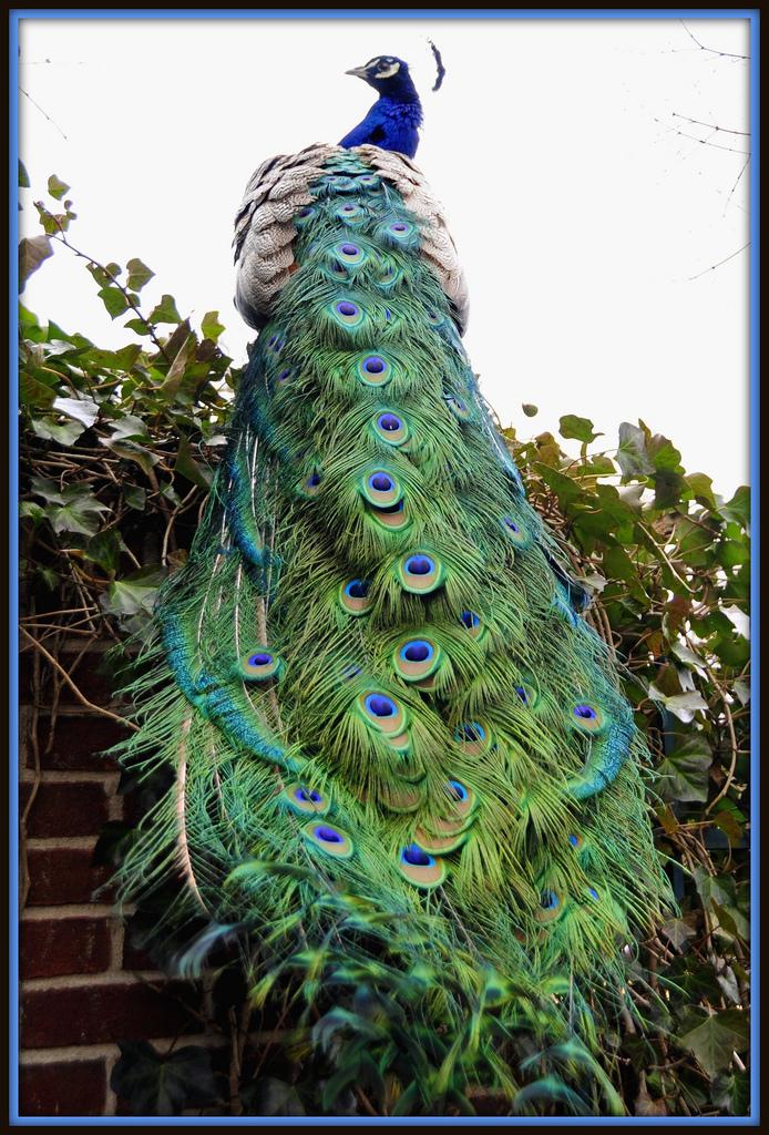 beautiful peacock long trail wallpapers