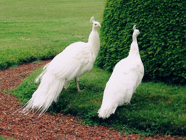 peacock couple images