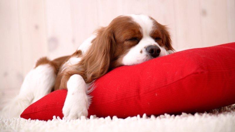 sleeping dog beautiful wallpapers
