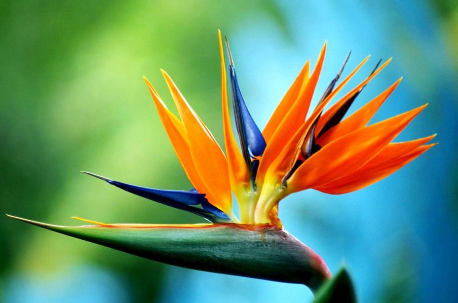 Bird of paradise flower images beautiful flowers pretty flowers beautiful flower prettiest flowers