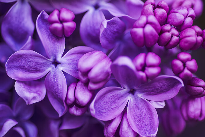 lilac violet flowers, abstract soft floral background most beautiful flower