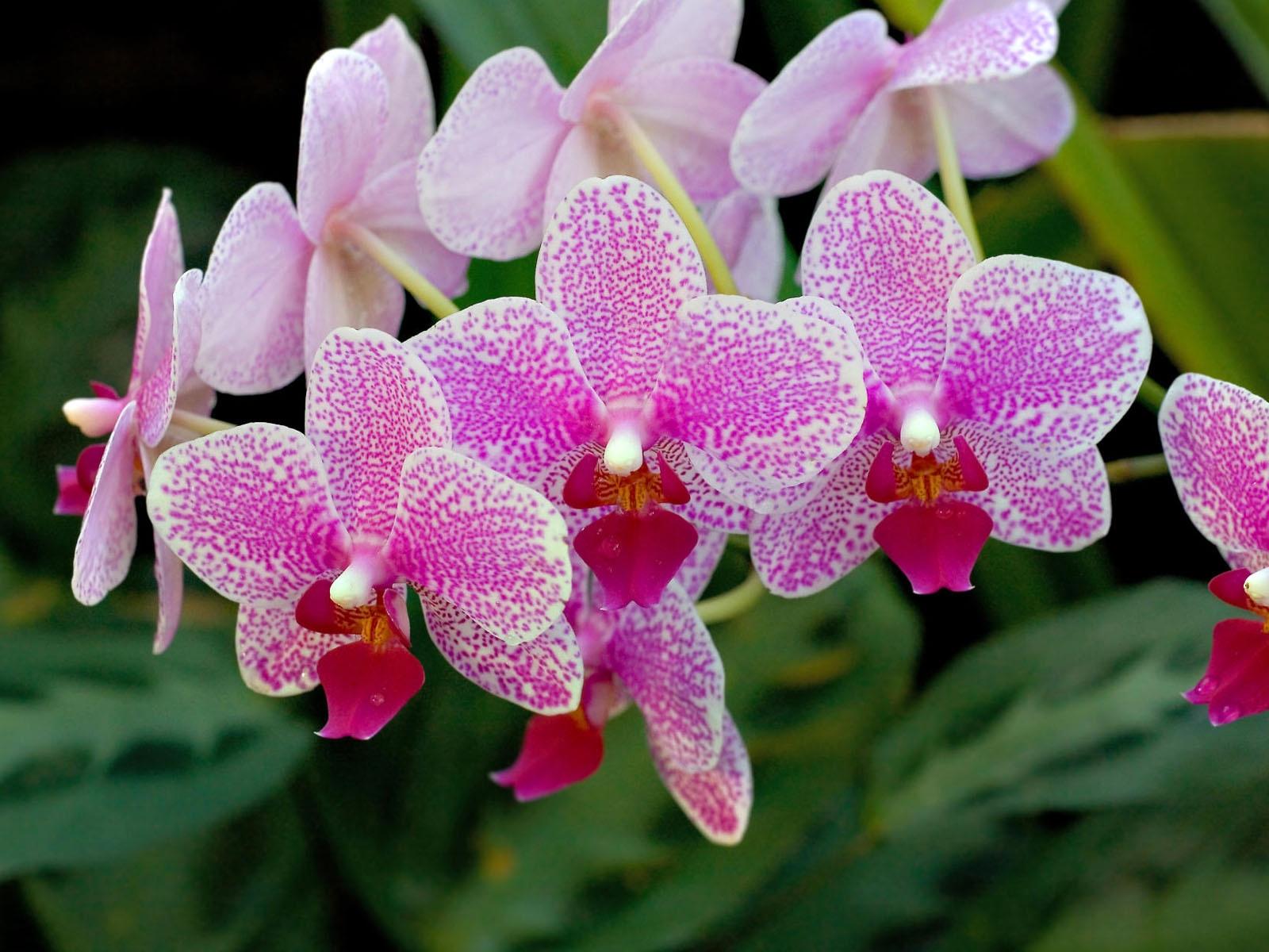 Orchid Flower Images beautiful flowers Prettiest Flowers