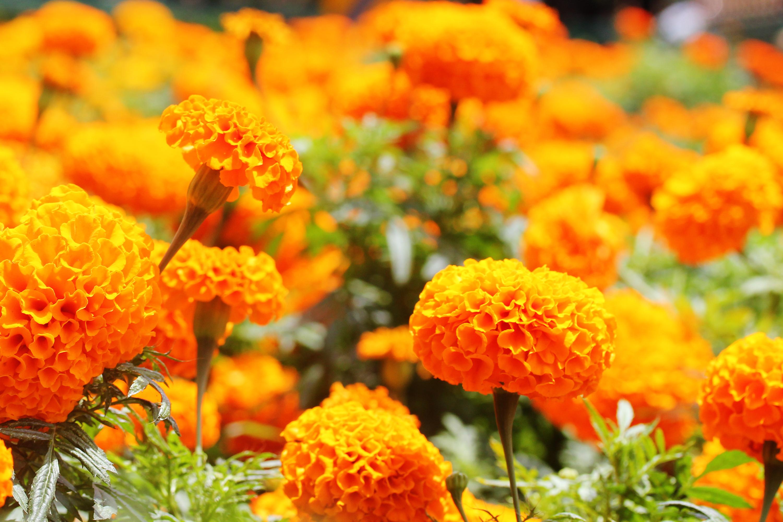 beautiful flowers pretty flowers beautiful flower prettiest flowers Marigold Flower Image