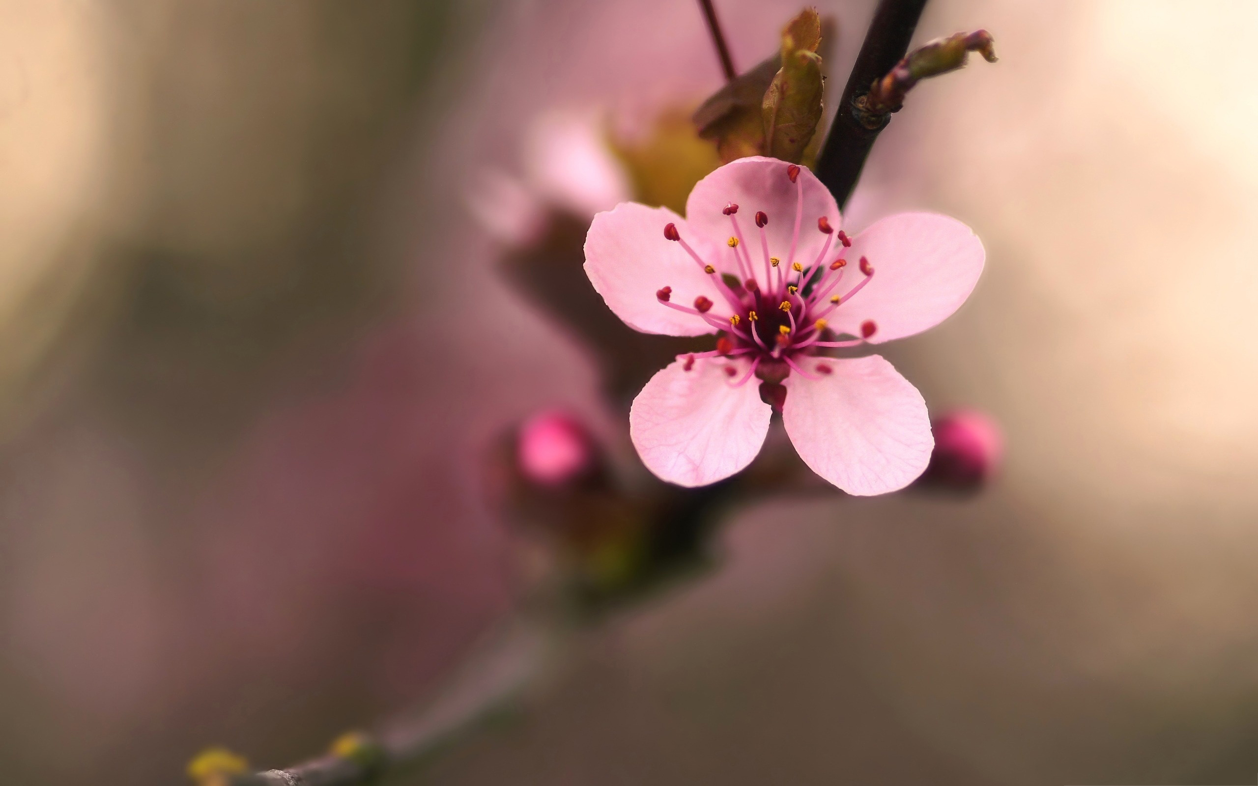 cherry-blossom-images Best Flower Images HD Wallpapers Images Beautiful Flowers