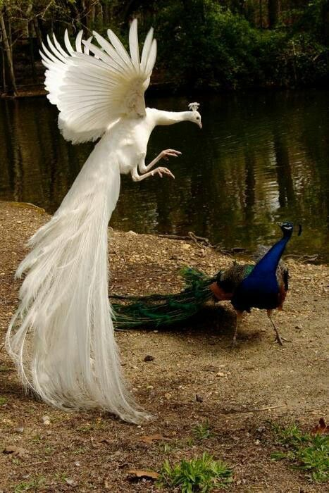 Flying Peacock Wallpapers
