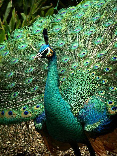 golden peacock good evening wallpapers free